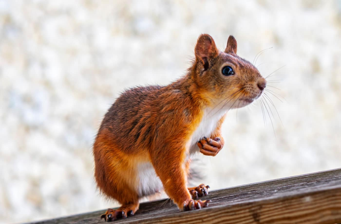 Red Squirrel Services